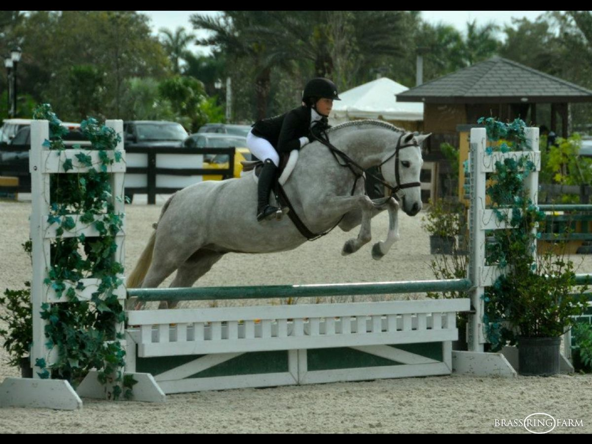 Real Steel- Hunter Jumper Horses For Sale A Circuit Showjumping